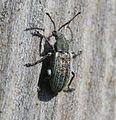 Phyllobius - Flickr - S. Rae (1).jpg