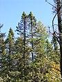 Picea mariana 4 (5098103056).jpg