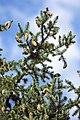 Picea pungens USDA6.jpg