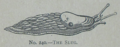 Picture Natural History - No 240 - The Slug.png