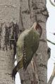 Picus viridis sharpei 050.jpg