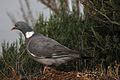 Pigeon ramier (3).JPG