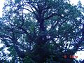 PikiWiki Israel 499 Ficus עצי שיקמה.JPG