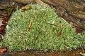 Pincushion Moss (Leucobryum glaucum) - Algonquin Provincial Park 2019-09-20.jpg
