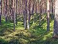 Pine forest 003.jpg