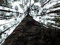 Pine forest by puke.jpg