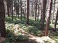Pineta silana - panoramio.jpg