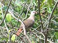 Pink Pigeon, Ile aux Aigrettes Nature Reserve, Mauritius.JPG