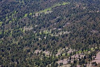 Pinos silvestres en la sierra Cebollera.jpg