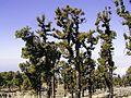 Pinus canariensis (Roque de Los Muchachos) 01 ies.jpg