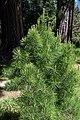 Pinus echinata 1.jpg