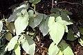 Piper auritum 15zz.jpg