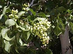 Pistachio with ripening fruit
