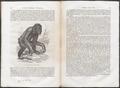 Pithecus satyrus - 1700-1880 - Print - Iconographia Zoologica - Special Collections University of Amsterdam - UBA01 IZ19800178.tif