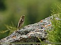 Plain Mountain Finch (Leucosticte nemoricola) (22118820766).jpg
