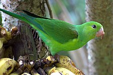 Plain Parakeet (Brotogeris tirica) -eating banana-6.jpg
