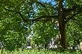 Platanus acerifolia in Berlin Mitte.jpg