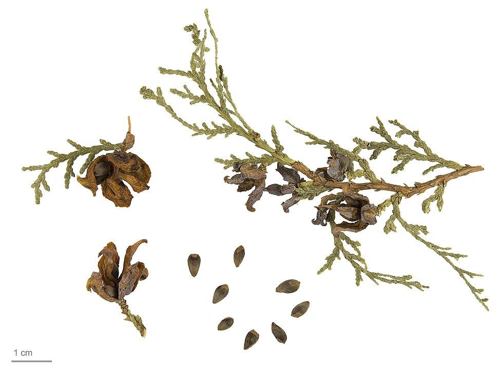 Platycladus orientalis MHNT.BOT.2007.52.7