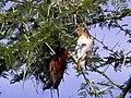 Ploceus-rubiginosus-3.jpg