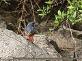 Plumbeous Water Redstart (Rhyacornis fuliginosa) (33889670368).jpg