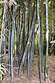 Poales - Bambusa vulgaris - 5.jpg