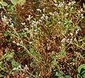 Polycarpaea corymbosa W IMG 3048.jpg
