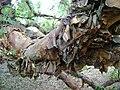 Polylepis australis trunk at Dundee Botanic Garden 2.jpg
