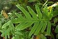 Polypodium aureum Leaf 3000px.jpg
