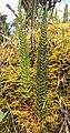 Polystichum orbiculatum.jpg