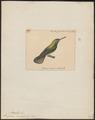 Polytmus amazili - 1825-1839 - Print - Iconographia Zoologica - Special Collections University of Amsterdam - UBA01 IZ19100179.tif