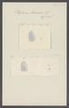 Polytomus lamanon - - Print - Iconographia Zoologica - Special Collections University of Amsterdam - UBAINV0274 110 14 0024.tif