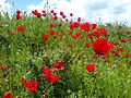 Poppy Bahar 2.jpg