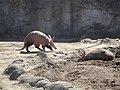 Porcs formiguers (Orycteropus afer).jpg