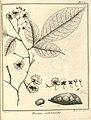 Possira arborescens Aublet 1775 pl 355.jpg
