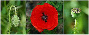 Papaver rhoeas - The three stages in a common poppy flower: bud, flower and capsule
