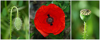 Papaver rhoeas - The three stages in a common poppy flower: bud, flower, and capsule