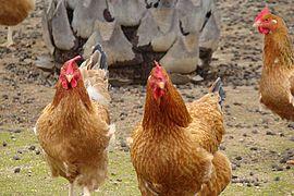 Poules au Muy.jpg