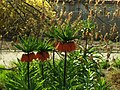 Praha, Troja, Botanická zahrada, květina II.JPG