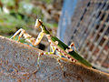 Praying Mantis 2.JPG