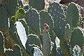 Prickly Pear Cactus (33246177913).jpg