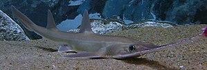 Sawshark - Image: Pristiophorus japonicus cropped