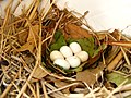 Progne subis -Tulsa, Oklahoma, USA -eggs in nestbox-8.jpg