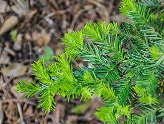 Prumnopitys andina - Prumnopitys andina foliage.