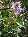 Prunella grandiflora01.jpg