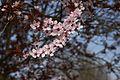Prunus cerasifera A.jpg