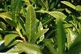 Prunus laurocerasus Otto Luyken 1zz.jpg