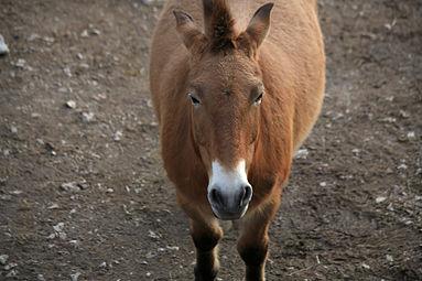 Przewalski-Pferd (Equus ferus przewalskii) Zoo Salzburg 2014 a.jpg
