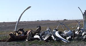 Point Hope, Alaska - A pile of whale bones in Point Hope, at the spot where celebrations are held at the conclusion of the whaling season.