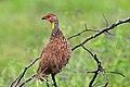 Pternistis leucoscepus -Tarangire National Park, Tanzania-8 (1).jpg