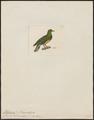 Ptilinopus holosericeus - 1820-1860 - Print - Iconographia Zoologica - Special Collections University of Amsterdam - UBA01 IZ15600077.tif